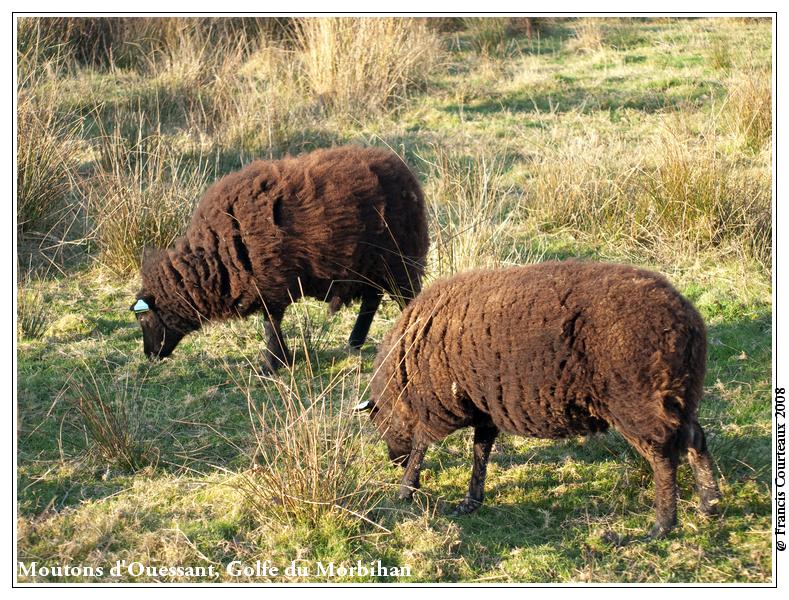 Moutons d'Ouessant, Golfe du Morbihan Moutons